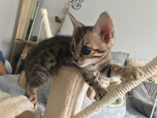 Reginamur kittens-bengal