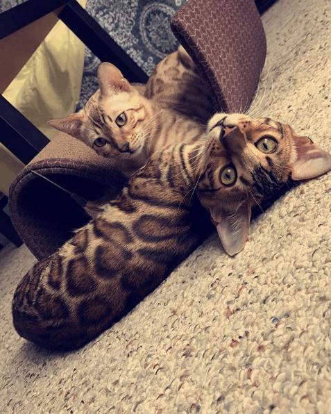 Reginamur Bengal Kittens | Cat's Cattery