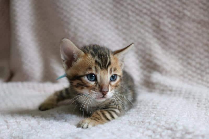 Bengal kittens for sale Philadelphia