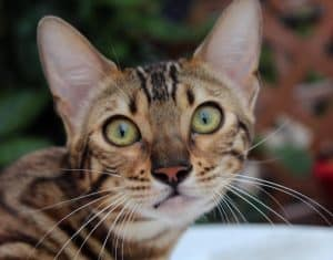 Reginamur Bengal Kittens   Cat's Cattery