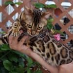 Bengal kitten or cat adaptation to a new home