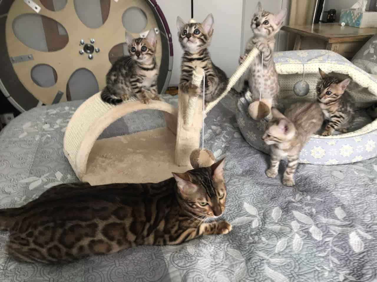 Bengal kittens cattery Philadelphia