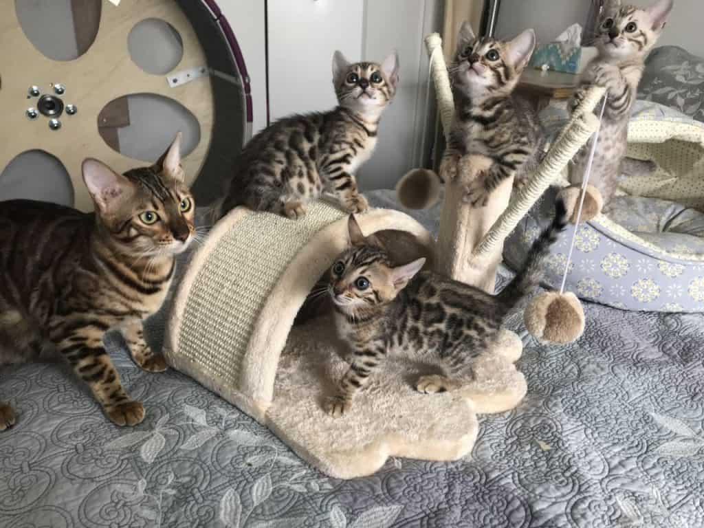 bengals cats breeders