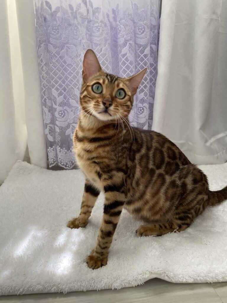 Bengal Cats breeder Philadelphia