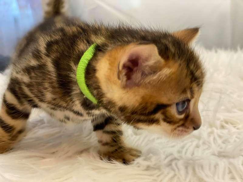 bengal kittens pennsylvania