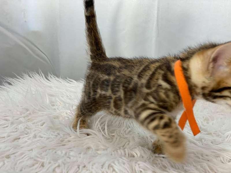 bengal cat breeders pa