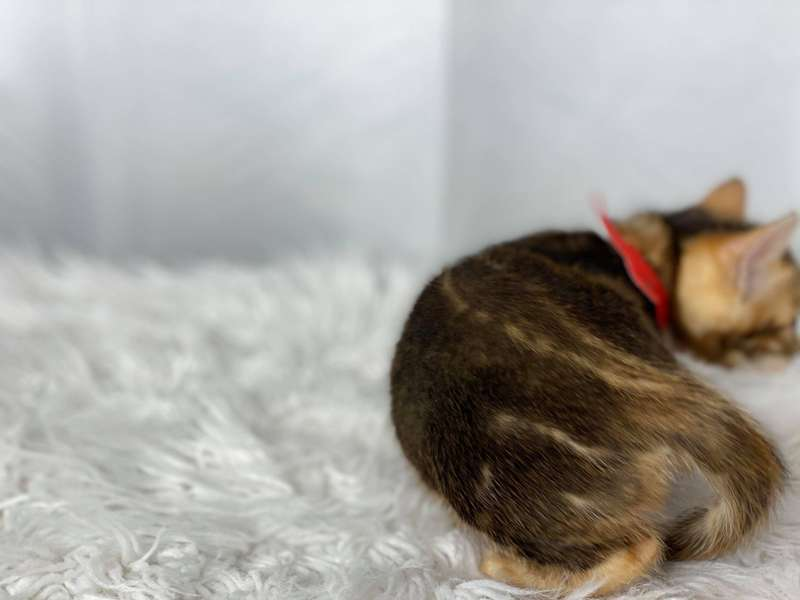 bengal kittens for sale pa