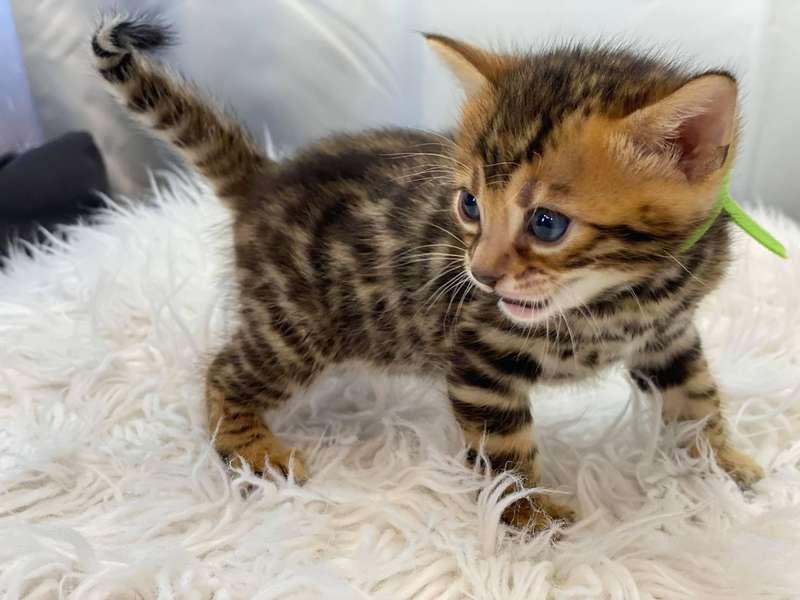 bengal cats philadelphia