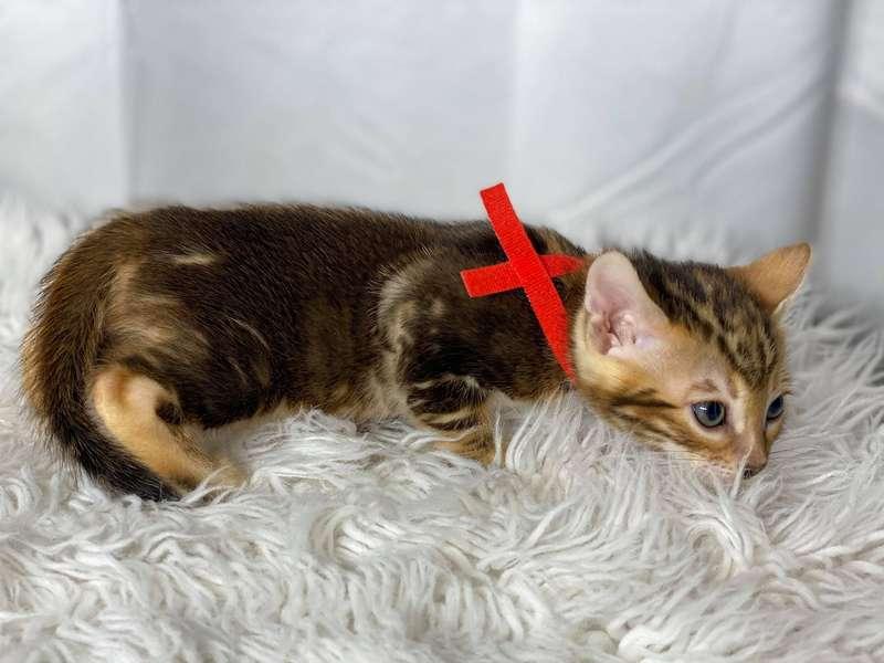 california bengal kittens
