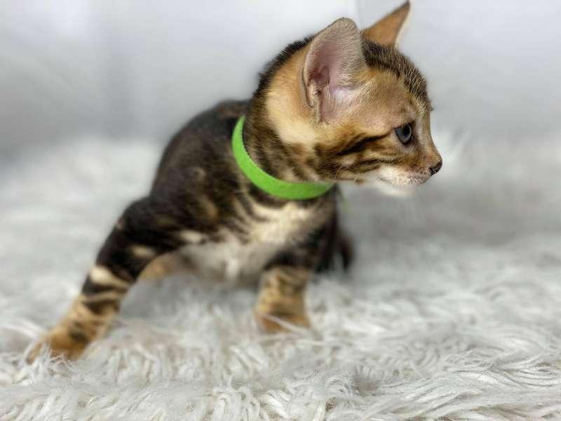 california bengal cat