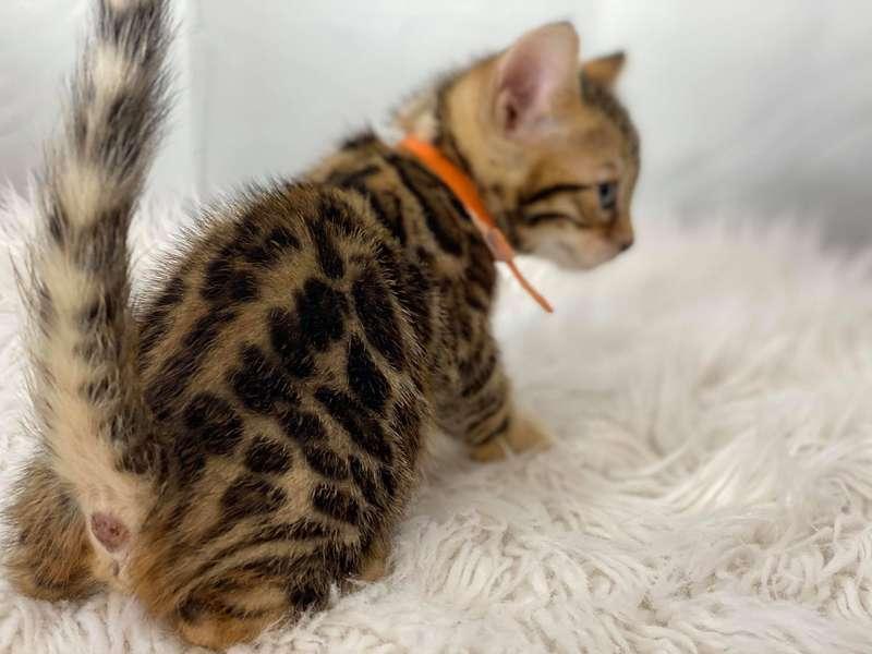 bengal cat breeders pennsylvania