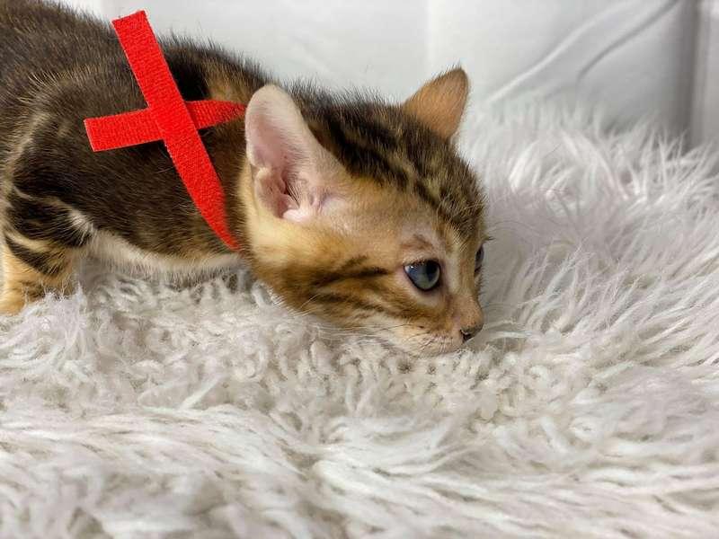 bengal kittens california