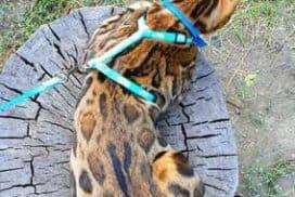 Bengal Cats breeder