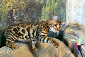 Bengal Cats breeder near me