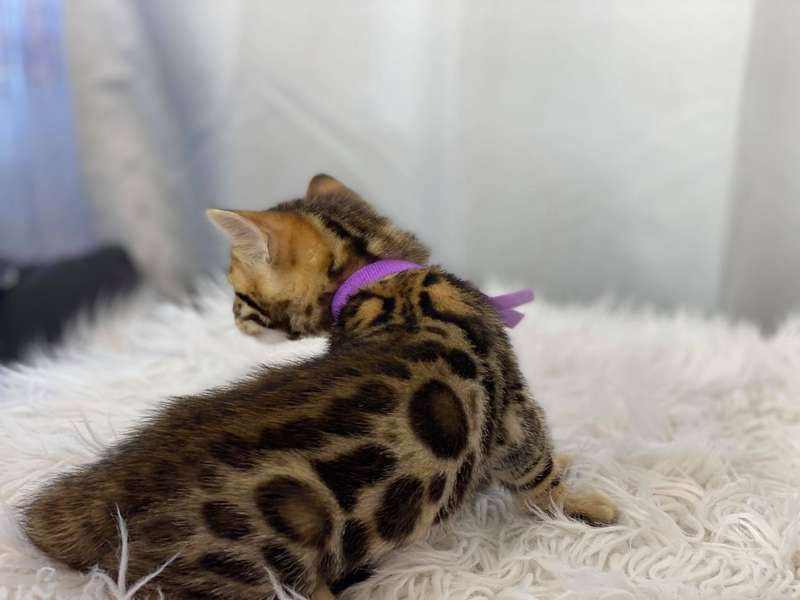 bengal cats for sale texas