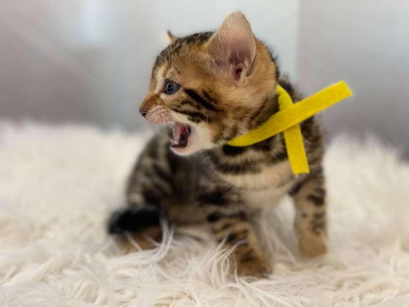 glitter bengal cat