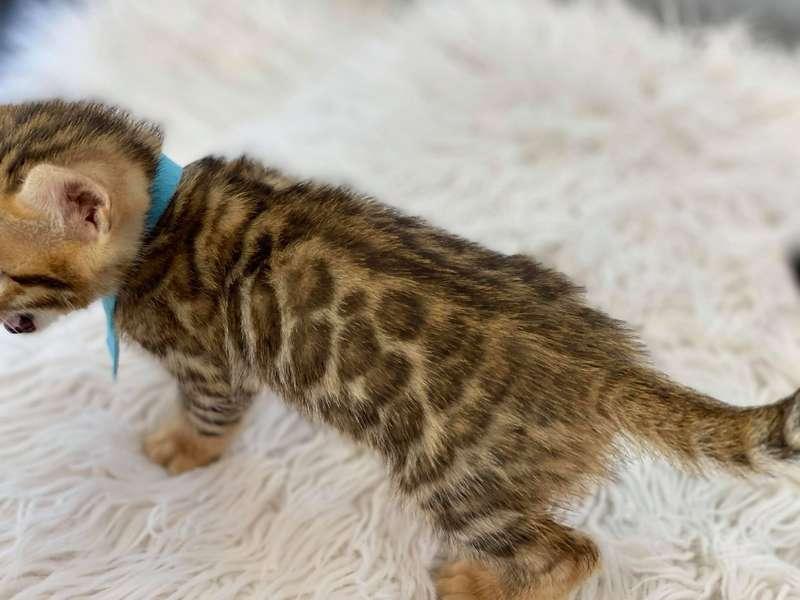 bengal kittens delaware