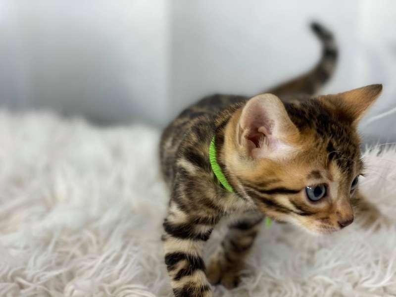 bengal cat austin