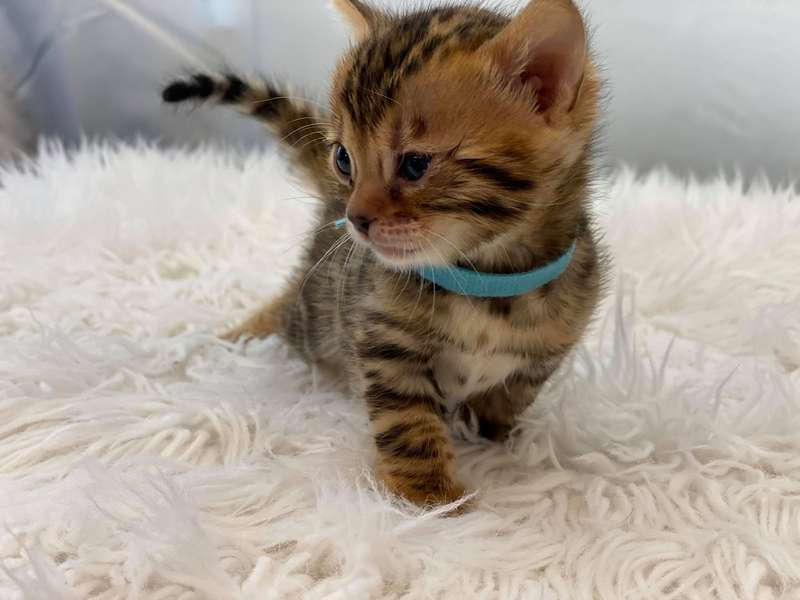 bengal cats for sale in texas
