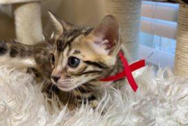 1.1 female kitten Reginamur