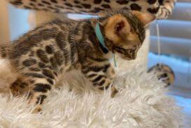 1.2 male kitten Reginamur