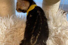 1.3 male kitten Reginamur