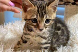 1.4 male kitten Reginamur