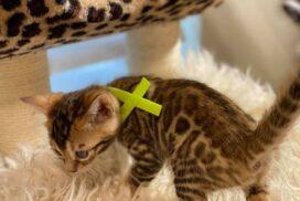 1.5 male kitten Reginamur