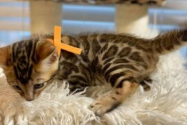 1.6 male kitten Reginamur