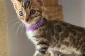 female 2.2 kitten Reginamur