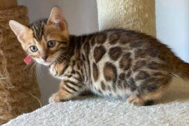female 2.3 kitten Reginamur