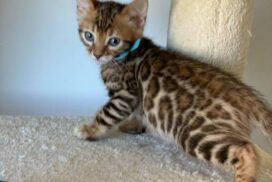male 2.1 kitten Reginamur
