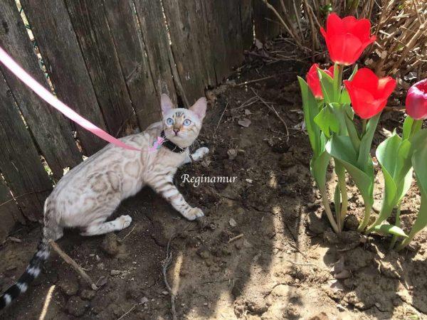 Reginamur Bengal Kittens Philadelphia