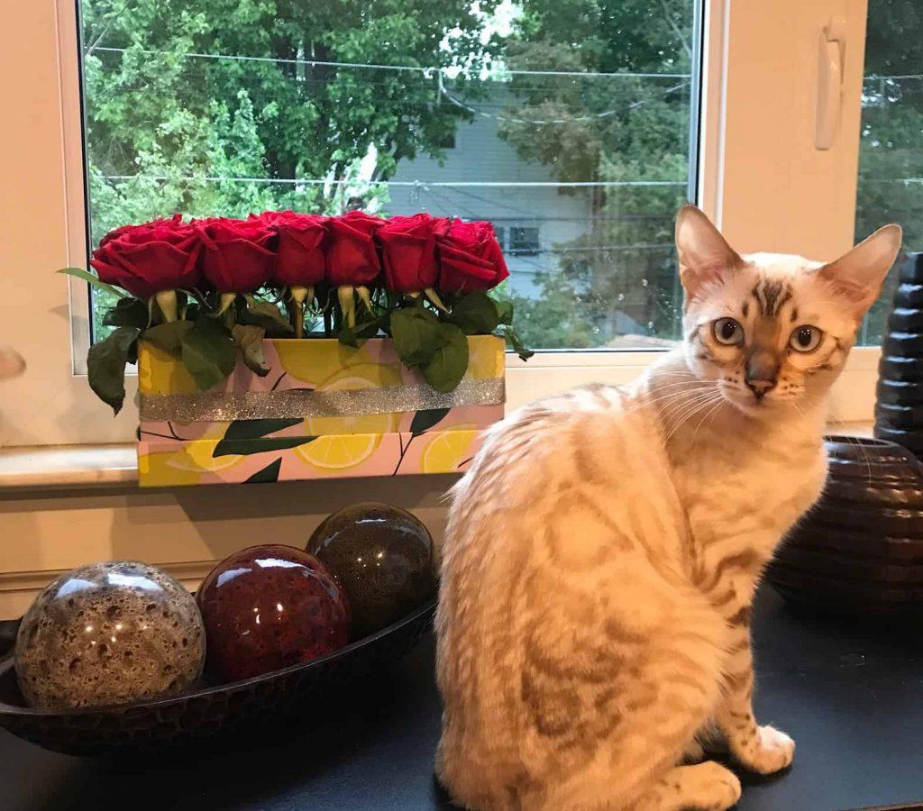 Bengal Cats Cattery Philadelphia